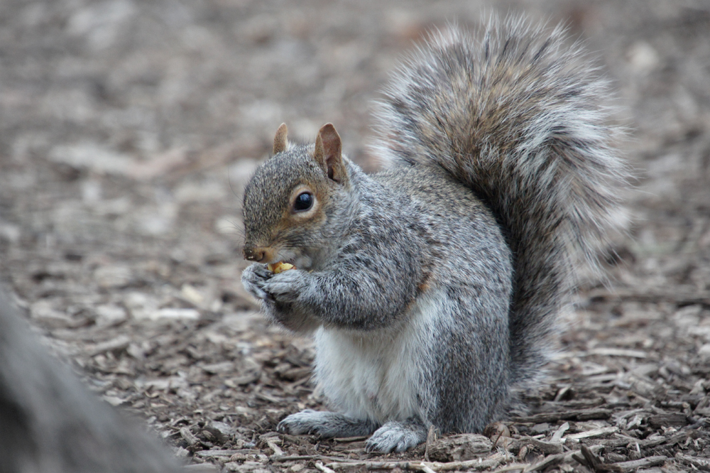 Gray Squirrel in Central Park