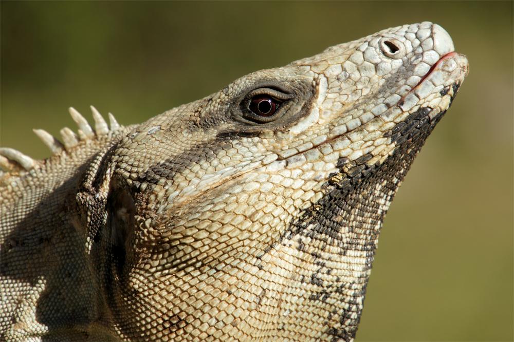 Detail of a Black Spiny-tailed Iguana